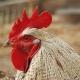 brojlerek csökkentett antibiotikummal