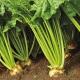 Cukorrépa zearalenon szennyeződése
