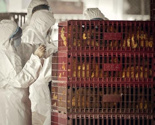 Mexikóba és Kínába is visszatért a madárinfluenza