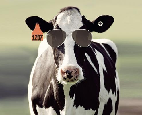 A bendőállapot optimalizálásával elkerülhető a tejzsírszint csökkenése hőstressz esetén