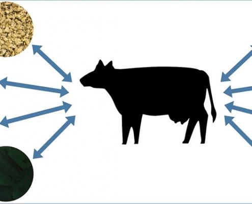 A mikroalgák megfelelő fehérjeforrást jelentenek a tehenek számára