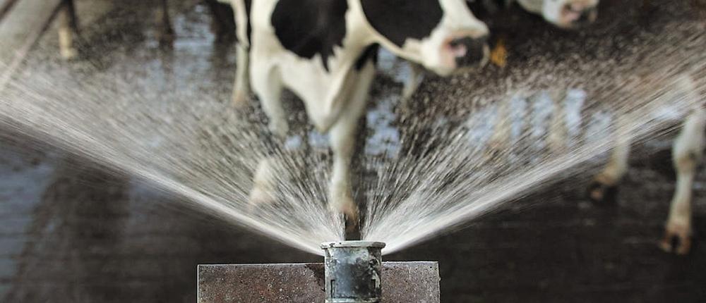 A szárazonálló tehenek hűtésének előnyei a tehén, a borjú és a jövőbeli utódok szempontjából
