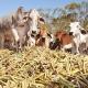 Az extrém szárazság miatt már cukornáddal etetik a teheneket Indiában
