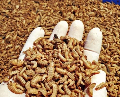 Gyors térnyerést jeleznek előre a rovaroknak a takarmánypiacon