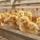 Probiotikumokkal növelhető a tojótyúkok termékenysége