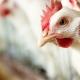 Van jövője a kettőshasznú csirkéknek?