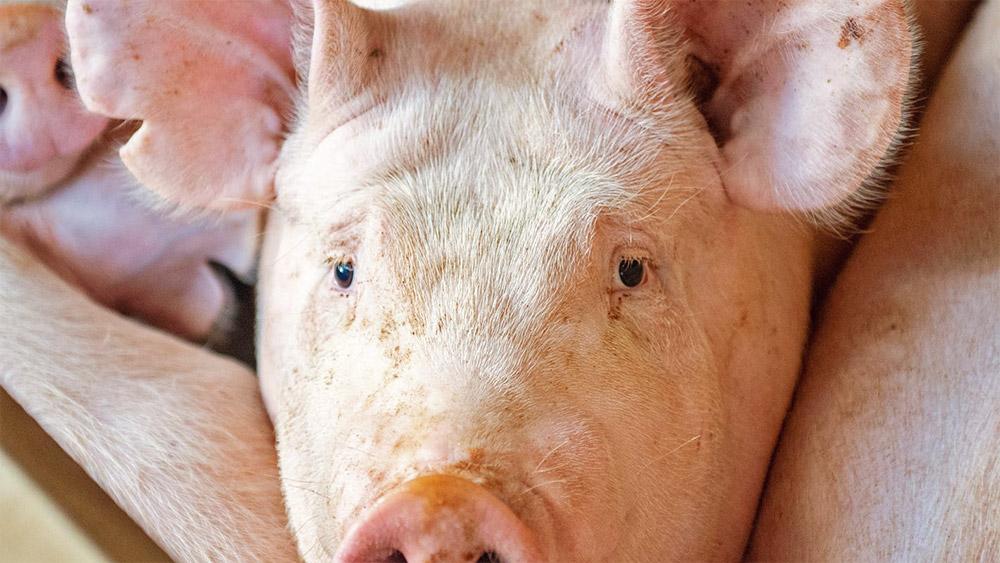 A sertések hirtelen halálát okozó betegségeket vizsgálják Észak-Amerikában